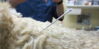 דיקור סיני לכלבים