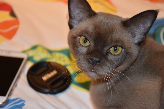 חתול בורמזי