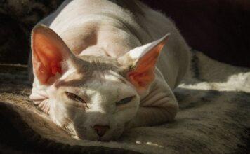 חתול ספינקס