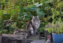 חתול יערות נורבגי